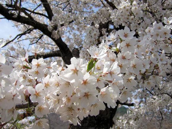 Sakura_0000