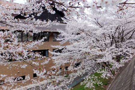 Sakura_3_2