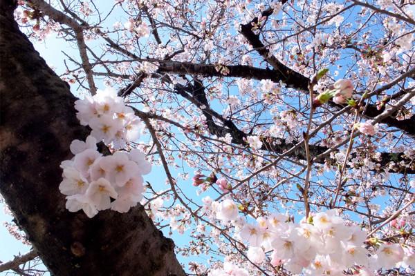 Sakura_0001