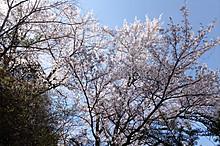 Sakura_00