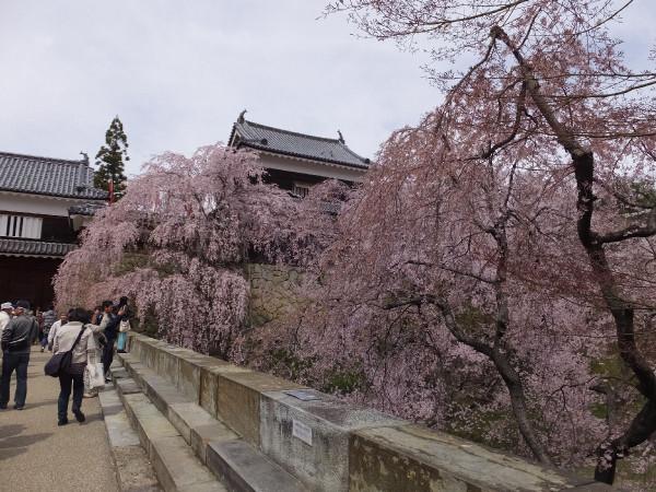 Sakura_00001