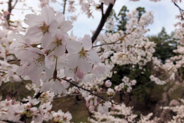 Sakura_0000_2