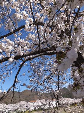 Sakura_5_3
