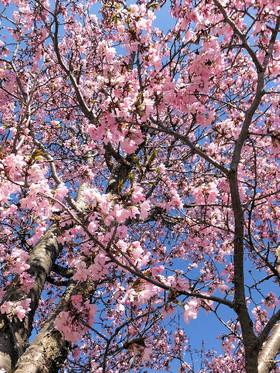Sakura_6_2