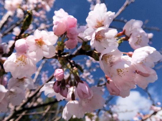 Sakura_0003