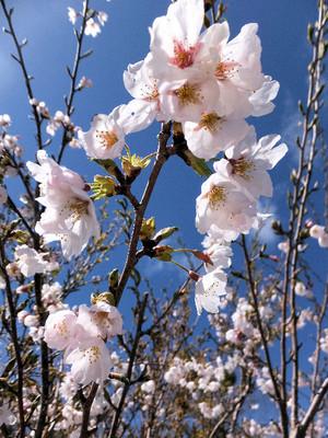 Sakura_0007